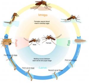 Muỗi sốt xuất huyết sống bao lâu
