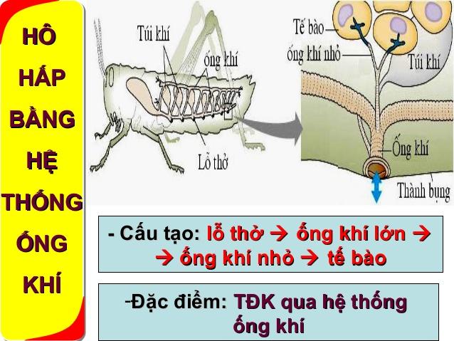 Hệ hô hấp của côn trùng có cấu tạo khá đơn giản tuy nhiên vẫn đáp ứng đầy đủ chức năng giúp cho hoạt động sống của côn trùng diễn ra tốt nhất