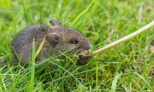 Tác hại của chuột đối với cuộc sống