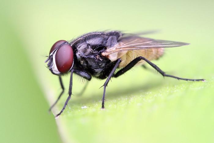 Tuổi thọ của ruồi