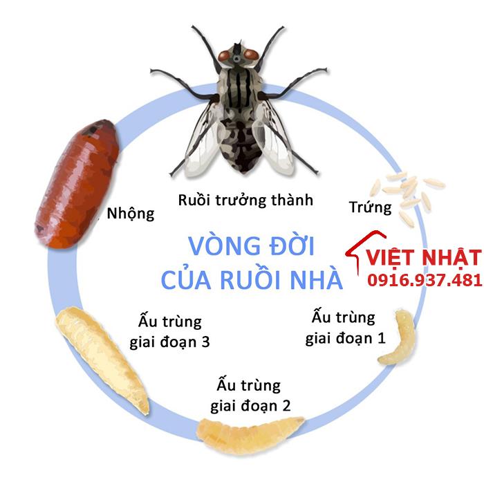 Vòng đời và tuổi thọ của ruồi