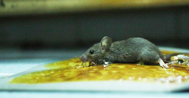 Keo dính chuột có đặt biệt gì