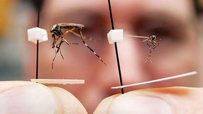 Muỗi sốt xuất huyết và muỗi thường