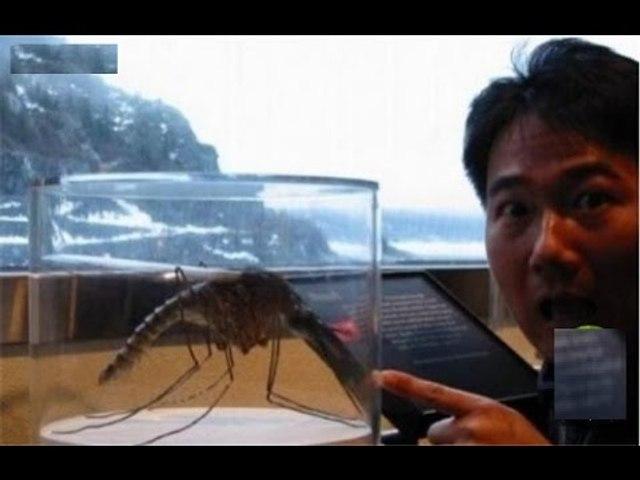 Muỗi Gallinipper to lớn gấp 20 lần muỗi bình thường.