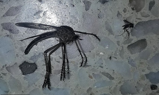 Muỗi khổng lồ